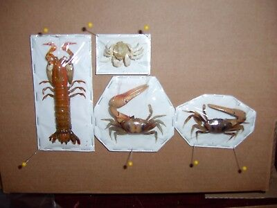 CRAB Taxidermy and Mantis 3 Asian Species  For Educational Aids