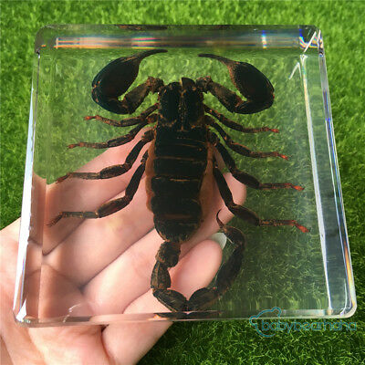 Large Black Scorpion Real Insect Education Specimen Cool Gifts For Kids 97X97mm