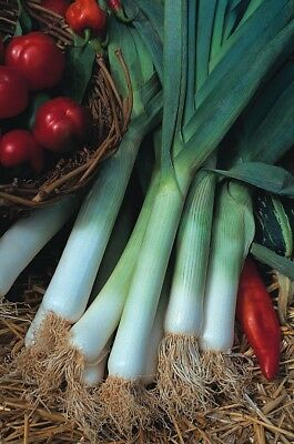 (347) 'KINGS' QUALITY  leek blue solaise  1000 seeds -garden Vegetable