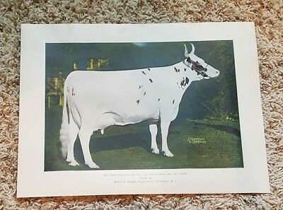 Vintage 1940s Grand Champion Ayrshire Cow 8 X 10 Photo