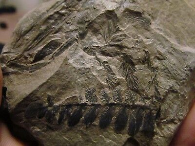 Gorgeous Pecopteris Fern Fossils from the Carboniferous, Pennsylvanian Period