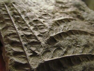 Amazing Mariopteris Fern Fossil from the Carboniferous, Pennsylvanian Period