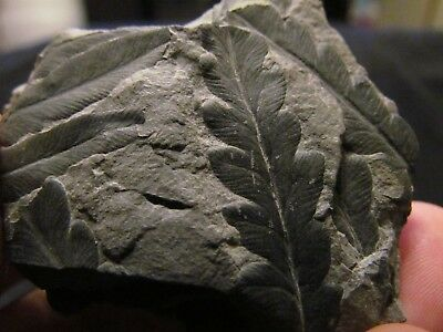 Mariopteris & Pecopteris Fern Fossil from the Carboniferous Pennsylvanian Period