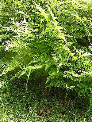 Fern Native 20cm pot