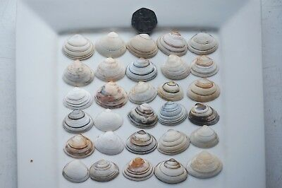 30 Sea Shells from Cornwall, crafting , decorating