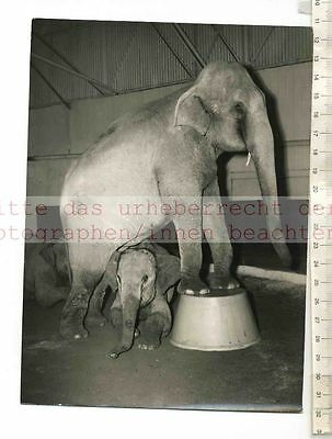 Original Pressefoto: Elephants Follow The Leader In Bertram Mills Circus Ascot