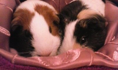 Chucklebunnies Guinea pig cuddle bed pocket for 2, gorgeous fluffy purple fleece