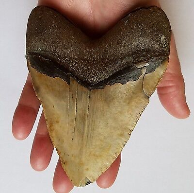"""BEAUTIFUL, Large, Wide ~5 1/2"""" MEGALODON Fossil Shark Tooth NC Great White MAKO"""