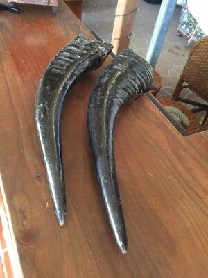 ANTIQUE PAIR OF BUFFALO HORNS. ESTATE ITEM. 435 & 455mm LONG. GREAT DISPLAY