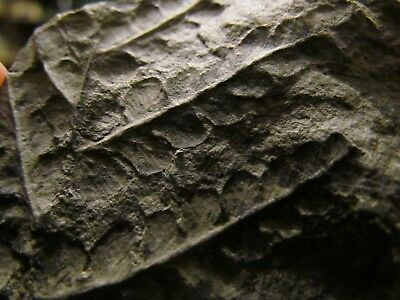 Beautiful Mariopteris Fern Fossil from the Carboniferous, Pennsylvanian Period