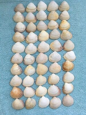 Assorted Sea Shells/Beach Finds/Crafts
