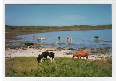 "ISLAND CATTLE ""COOLING OFF"": Isle of Gigha postcard (C31198)"