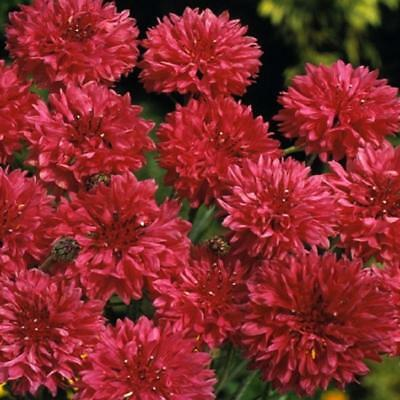 Cornflower Red Ball - Centaurea cyanus - appx 1000 seeds - annual