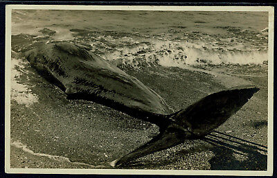Early Italy Real Photo Postcard - Unusual Location for Whale Beaching