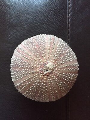 Sea Urchin Large Shell Great Condition