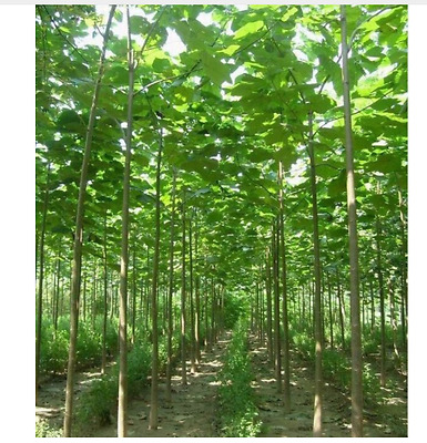 Paulownia Elongata Seeds Forest Tree Seeds Fast Growing Woody Outdoor Plants