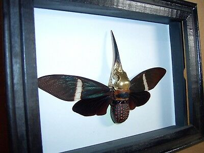 Gaff Sideshow Display Rare Hummingbird Cicada Last One From Old Collection.
