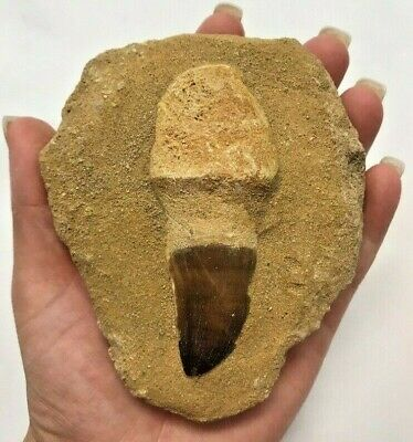 Large Single Mosasaurs Tooth - Dinosaur Fossil Tooth - Found In Morocco