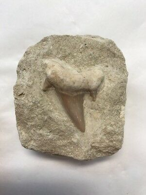 Large OTODUS SHARK Tooth - Prehistoric Shark Tooth Fossil - Found In Morocco