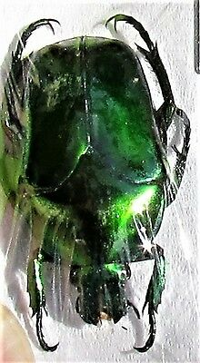 Lot of 20 Flower Beetle Ischiopsopha ritsemae celebensis FAST SHIP FROM USA