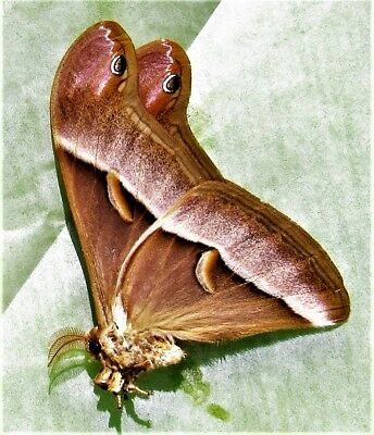 Lot of 25 Luzon Lesser Atlas Moth Samia luzonica Folded/Papered FAST FROM USA