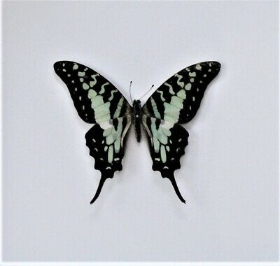 Lot of 2 Larger Striped Swordtail Butterfly Graphium antheus Male Folded FAST