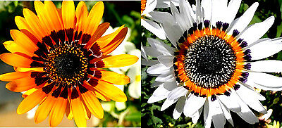 100 Seeds of Arcotis Glitzy Varied / Arcotide /Daisy African/Venidium