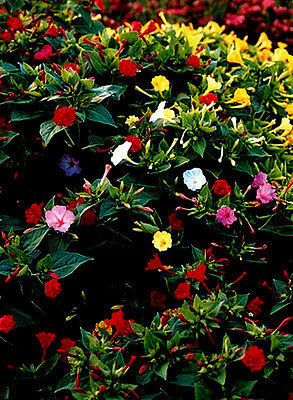 30 Seeds of Beauty night Four Hours Mixture / MIRABILIS JALAPA Honey plant
