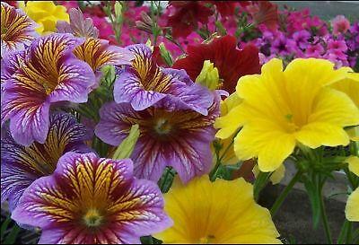 Painted Tongue [Salpiglossis sinuata] 'Velvet Dolly' Trumpet Flower Mix Seeds