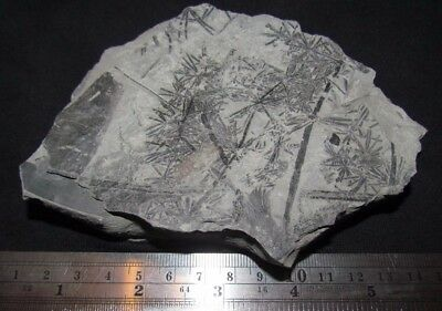 Asterophyllite Foliage Fossil from the Carboniferous, Pennsylvanian Period