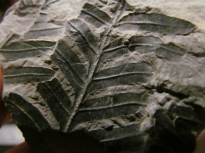Alethopteris Fern Fossil from the Carboniferous, Pennsylvanian Period