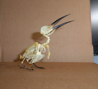 Bird Skeleton Taxidermy Merops philippinus javanicus Male Display Nice # 1 LQQK