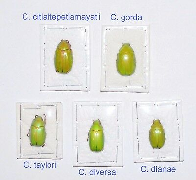 5 Chrysina species, males A1.