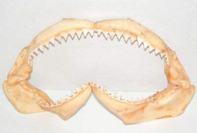"""Excellent 11.75"""" Shark Jaw Specimen-Complete with All Teeth"""