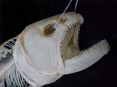 Taxidermy Fish, Skull, Trophy, Water tiger skull skeleton, GREAT FOR STUDY !!