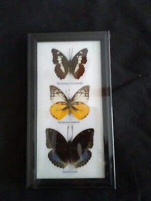 Real taxidermy butterflies