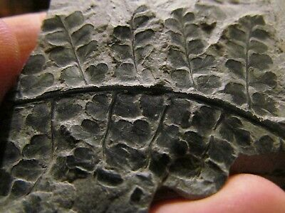Beautiful Eusphenopteris Fern Fossil from the Carboniferous Pennsylvanian Period