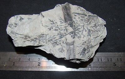 Beautiful Sphenopteris Fern Fossil from the Carboniferous, Pennsylvanian Period
