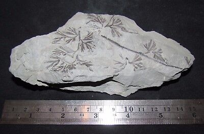 Rare Sphenopteris Fern Fossil from the Carboniferous, Pennsylvanian Period