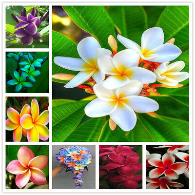 100Pcs Seeds Plumeria Hawaiian Foam Frangipani Flower For Wedding Party Decorati