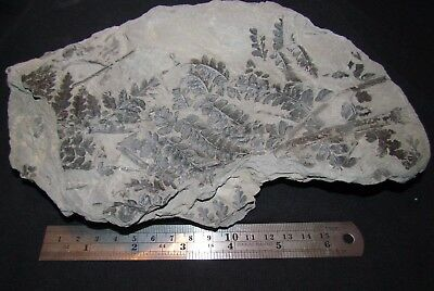 Amazing Mariopteris Fern Fossil from the Carboniferous Pennsylvanian Period