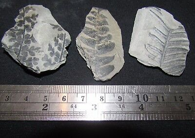 3 Amazing Plant Foliage Fossils from the Carboniferous, Pennsylvanian Period