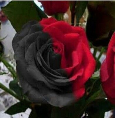50 pcs Rare Amazingly Beautiful Half black and red Rose flower Seeds