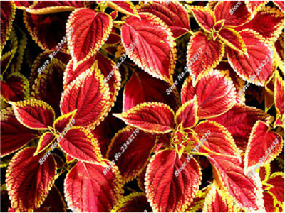 Coleus Blumei - Everest Formula Mix - 100 Seeds - Exotic Plant Seeds