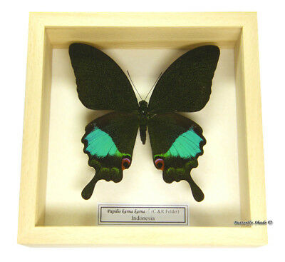REAL MOUNTED FRAMED BUTTERFLY - Papilio karna karna -THE JUNGLE JADE SWALLOWTAIL