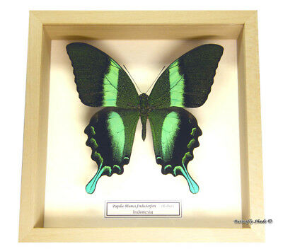 REAL MOUNTED FRAMED BUTTERFLY - Papilio blumei - THE GREEN SWALLOWTAIL