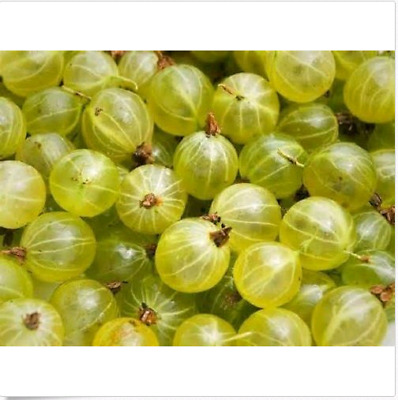 Ceylon Gooseberry Seeds Succulent Fruit Ceylon Gooseberry Seeds Showy KIDS Seeds