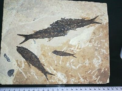 Multiple Fossil Fish Great Detail
