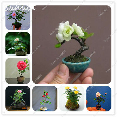 200 Pcs Mini Rose Bonsai Miniature Rose Seed A Little Cute Beautiful Plants For1