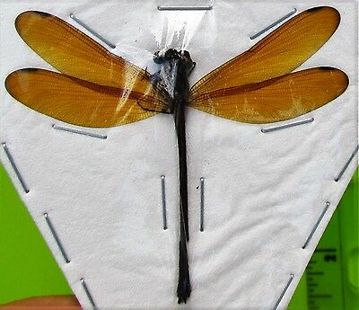 Lot of 2 Sumba Island Golden Dragonfly / Damselfly Odonates sp. Male FAST USA